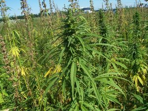 Hemp farm photo