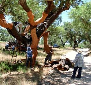 how to grow a cork tree