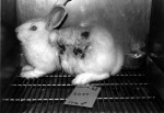 animal testing STOP NOW-BunnyCaged