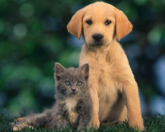 Gray Cat and Yellow Lab picture