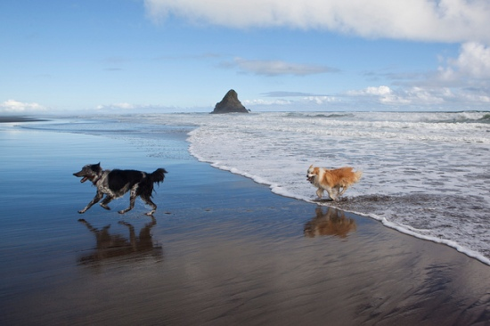 Dogs running on KareKare Beach. Auckland, New Zealand