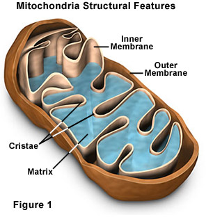 mitochondria figure photo 1