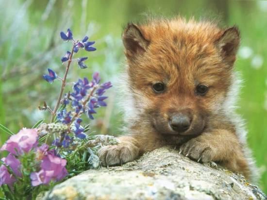 Gray_Wolf_Pup-(1024x768)