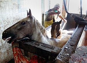 HORSE SLAUGHTER 14 JL
