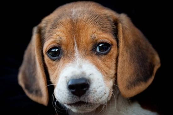 Beagle Angel