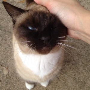 Snow Shoe Siamese Cat