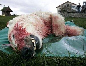 dead-polarbear