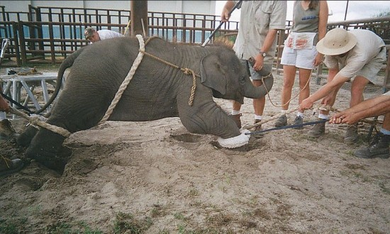 Baby Elephant abuse in circus