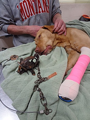 Dog at Vet after caught in steel leghold ignorance