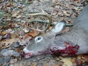 deer victim of bow and arrow 4