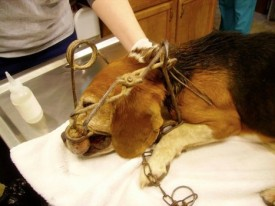 dog at vet in steel leghold trap